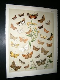 Kirby 1907 Noctuae, Geometrae Moths 53. Antique Print